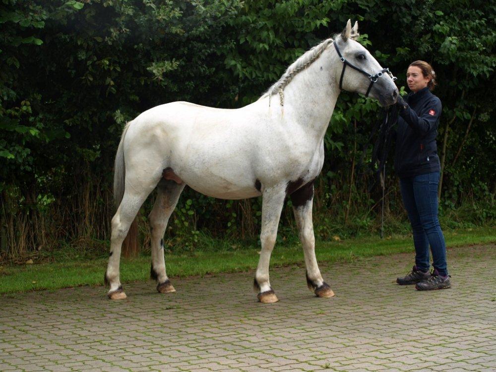 gravid og kåt heste pikk